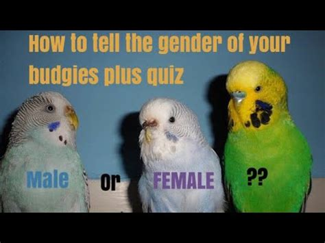 Buys A Parakeet by How To Tell If Your Budgie Is A Or