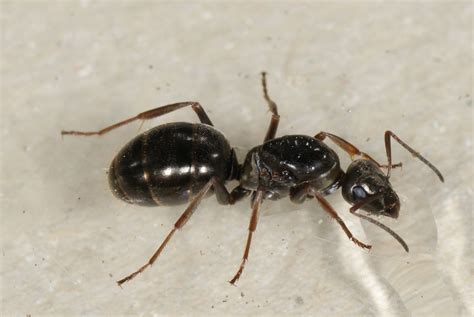 file laminate image jpg wikimedia commons file formica fusca queen lateral jpg wikimedia commons