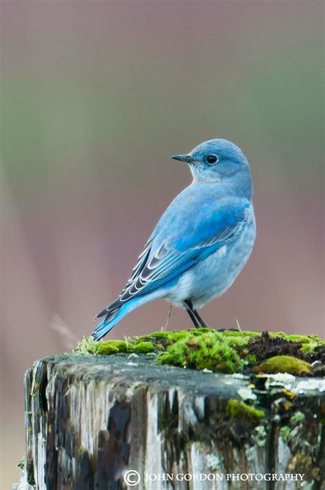 facts about mountain bluebirds images