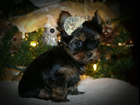 smoky mountain yorkies smoky mtn yorkies terrier puppies for sale