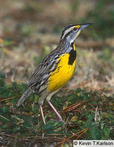 oregon backyard birds oregon s state bird is the western meadowlark find out what your state s bird is here