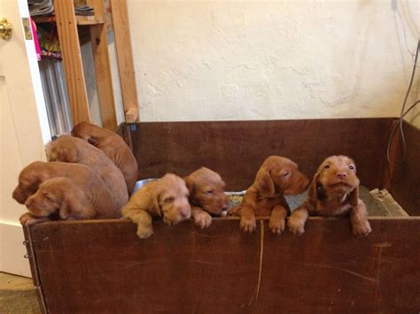 vizsla puppies for sale hungarian wirehaired vizsla puppies for sale bromyard herefordshire pets4homes