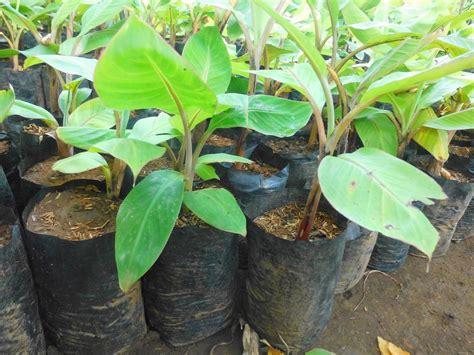 Jual Bibit Pisang Cavendish Kalimantan bibit pisang unggul purworejo mengenal pisang cavendish