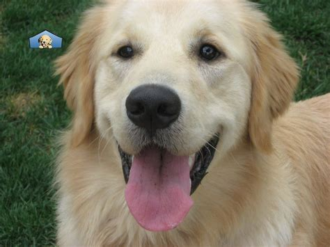 golden retriever rescue los angeles golden retriever club of greater los angeles rescue pet adoption brentwood los