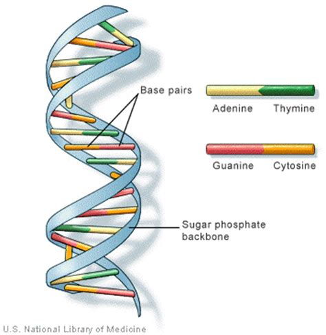 the structure of dna chemwiki