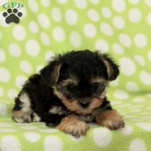 yorkie poo puppies pa yorkiepoo puppies for sale from reputable breeders