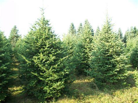 Balsam Tree - balsam fir tree images