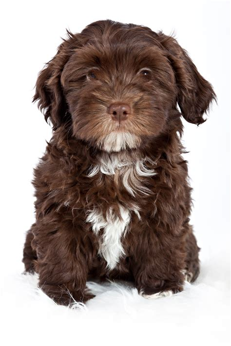 havanese and cats havanese puppy havanese havanese abyssinian and havanese puppies