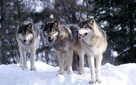 Wolf S | maine cops hunt huffing puffing pack of super wolves