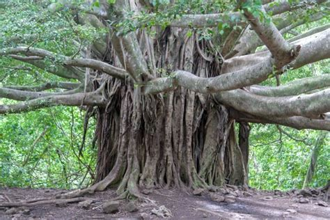 the indigenous trees of the hawaiian islands classic reprint books europe s oldest living inhabitant is looking pretty darn