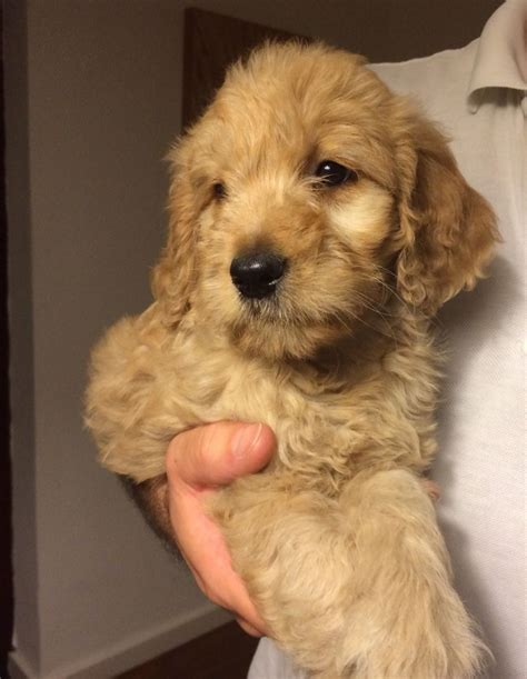 goldendoodle puppies for sale in kent apricot f1 goldendoodle puppies ramsgate kent