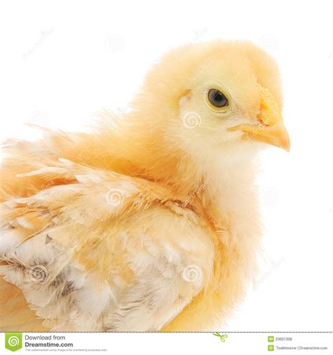 small chicken small chicken royalty free stock photos image 23601308