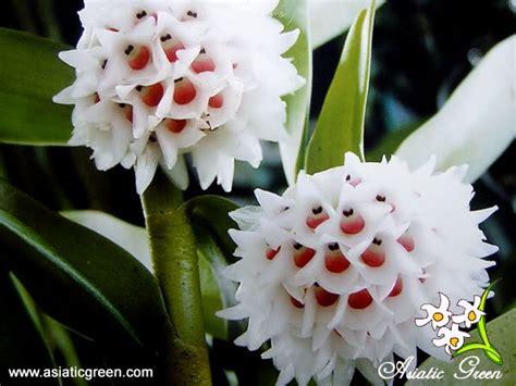 Eria Floribunda eria floribunda search flowers