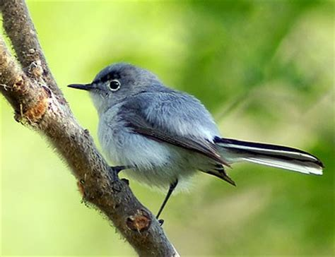 Extremely Light Headed by Northern Mockingbird Identification All About Birds