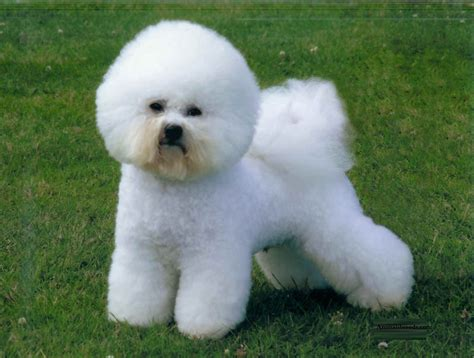 bichon frise puppies bichon frise puppies rescue pictures information temperament characteristics