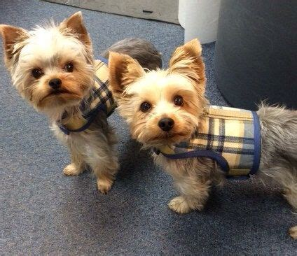 yorkie items 13 best yorkie items images on harness pet dogs and costumes