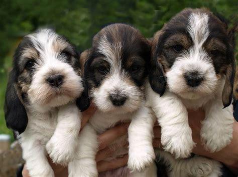 pbgv puppies petit basset griffon vendeen breed information and images k9rl