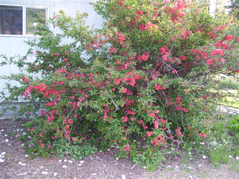 quince bush image gallery quince bush