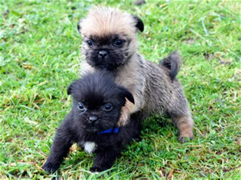 pug breeders adelaide for sale maltese shih tzu x purebred pug puppies
