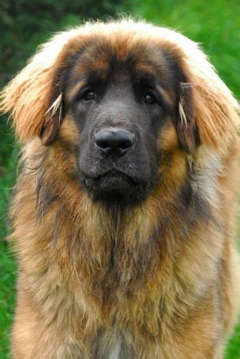 leonberger german mountain leonberger puppy