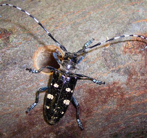 asian beetle asian longhorned beetle nrcs new york