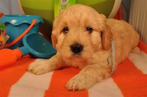 mini goldendoodles western ny lakeview golden doodles breeds picture