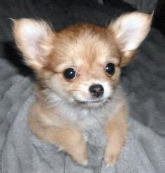 half pomeranian half poodle puppies 1000 images about hybrid mix puppies on chihuahuas breeds and