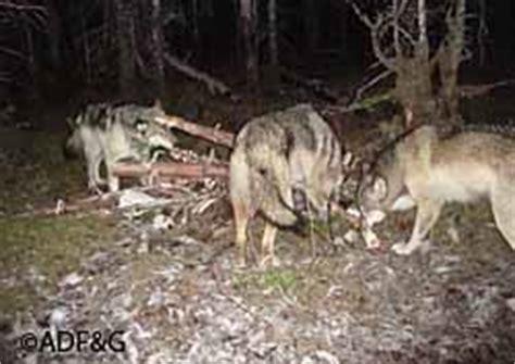 trail cameras provide candid look at wildlife, alaska