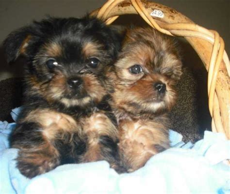 snorkie puppies snorkie schnauzer yorkie mix info temperament puppies pictures