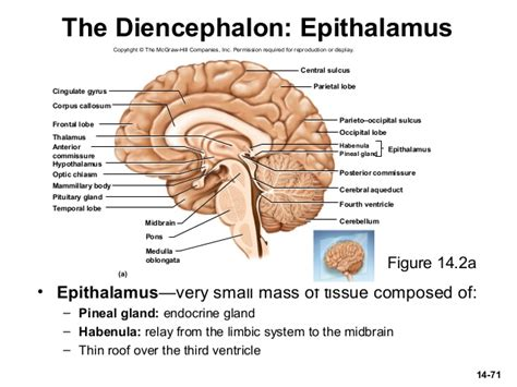 diagram of diencephalon image gallery epithalamus