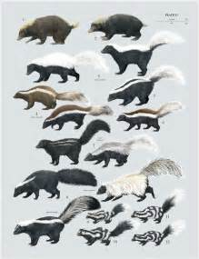 skunk colors 1 palawan stink badger 2 sunda stink badger 3 american hog