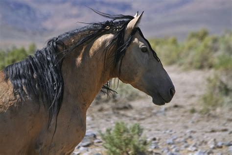 mustang horse wild horses mustang horses pictures collection