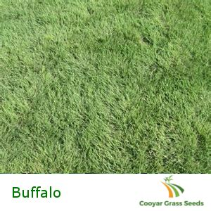 couch grass seeds for sale cooyar grass seeds the online home for your grass seeds