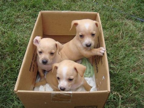 chiweenie puppies craigslist the world s catalog of ideas