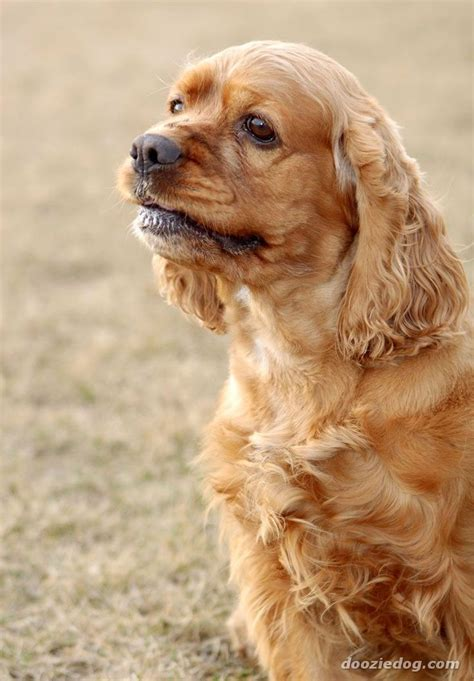 americancockerspaniel explore americancockerspaniel on 29 best images about american cocker spaniel on pinterest
