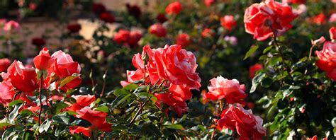 rose gardening inez grant parker memorial rose garden balboa park