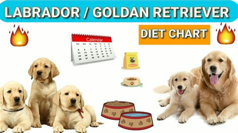 feeding your labrador puppy chart labradors and dog labrador dog food diet chart in hindi foods you must feed a labrador guide to how to feed your