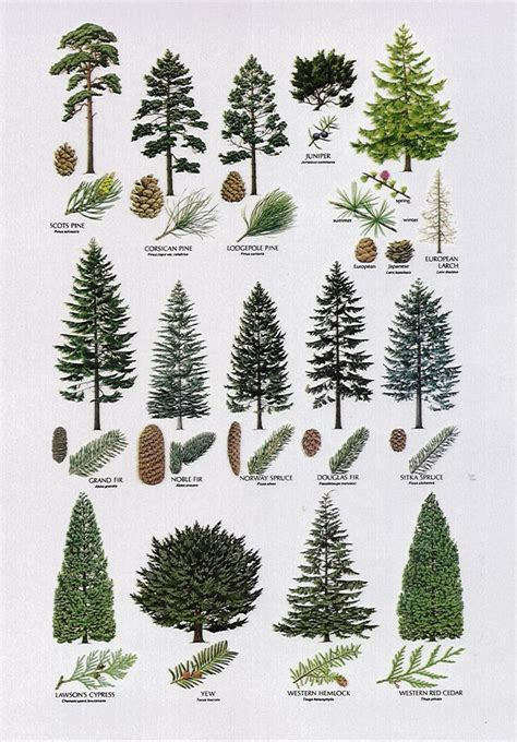 the pine tree and its many uses shtfandgo survival and