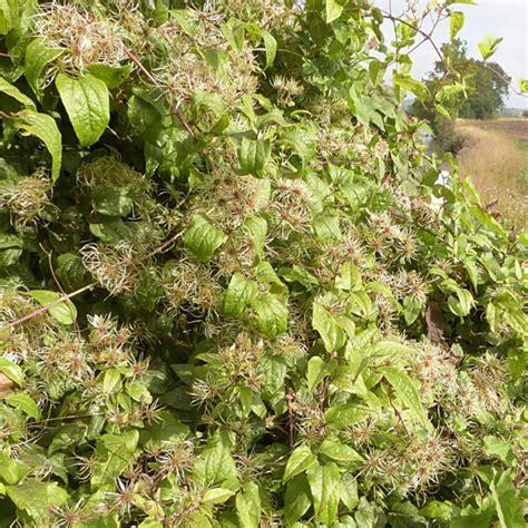 clematis fiore di bach i fiori di bach il clematis il tipo addormentato fiori