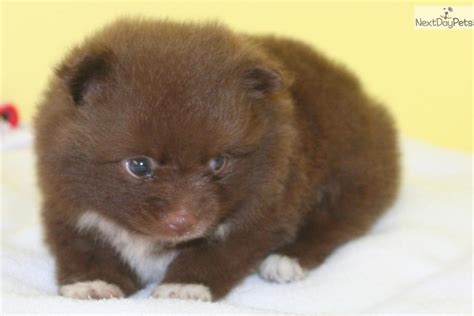 chocolate pomeranian puppy the chocolate pomeranian or brown pomeranian breeds picture