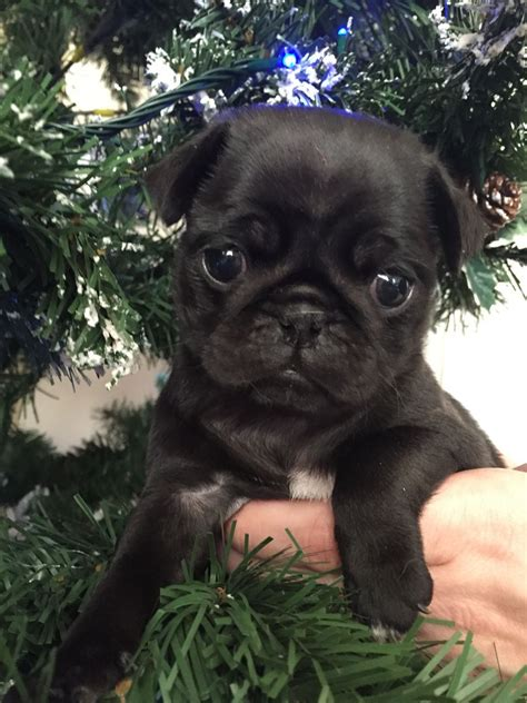 pug puppies for sale in berkshire pug puppies mixed beautiful colours bracknell berkshire pets4homes