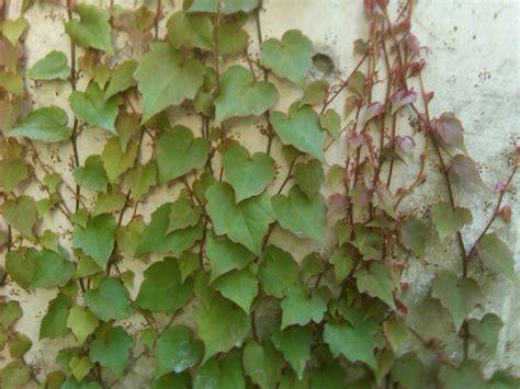 shade tolerant vines the smarter gardener - Kletterpflanzen Halbschatten