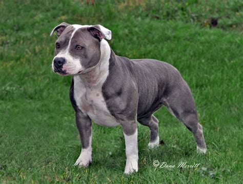 staffordshire dogs staffordshire bull terrier dogs terrier staffordshire bull terriers