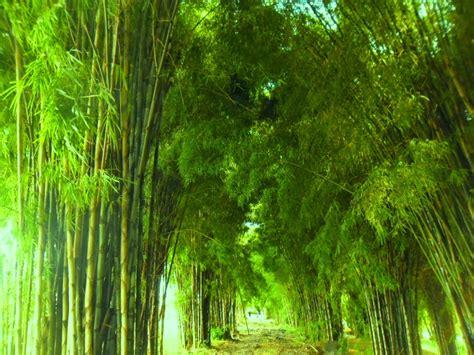 background hutan hutan bambu related keywords hutan bambu long tail