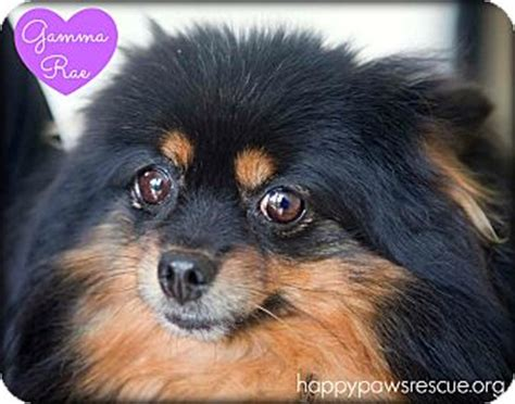 pomeranian rescue nj pomeranian mix for adoption in south plainfield new jersey gamma