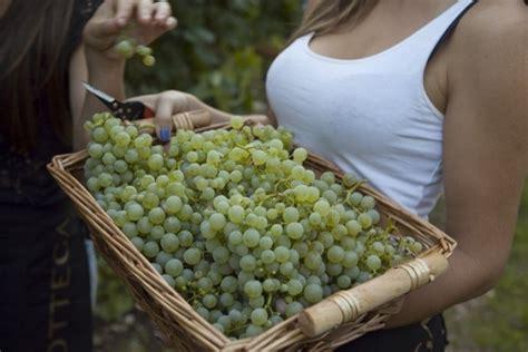 piantare uva da tavola piante uva uva le piante da uva