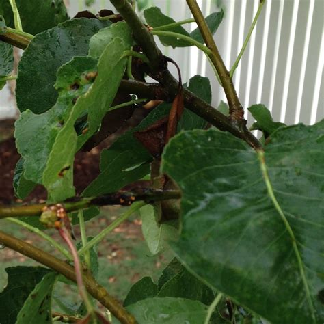 pear tree diseases how to treat disease on cleveland pear tree ask an expert