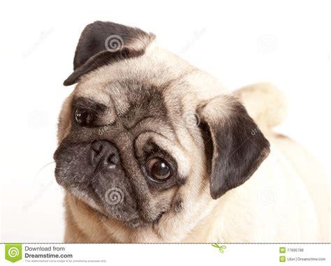 purebred pug purebred pug puppy royalty free stock photos image 17695798