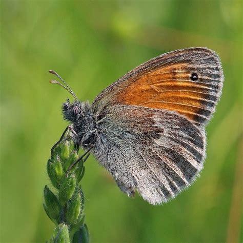 Butterfly P small heath butterfly