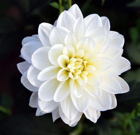 imagenes las flores fotos de flores las flores de las dalias